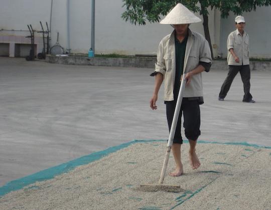 Vietnam, essiccazione del pepe bianco al sole