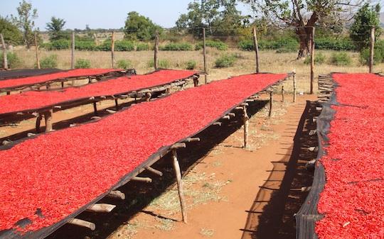 essiccazione del peperoncino - Malawi
