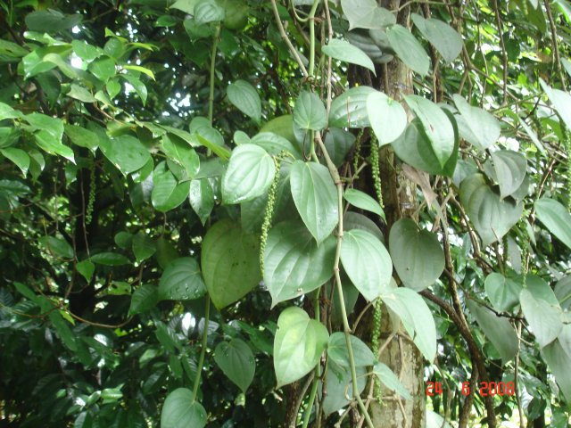 phoca_thumb_l_PEPE-pianta-VIETNAM-1