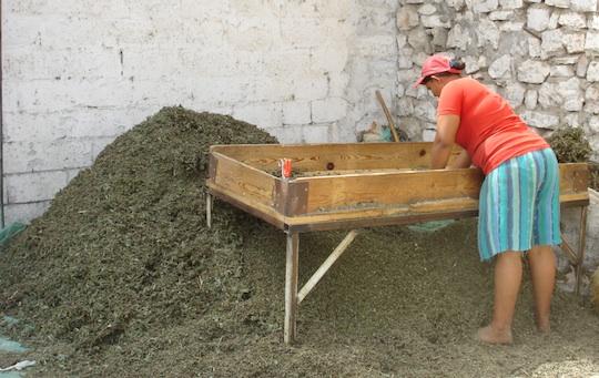 Albania, pulizia tradizionale della salvia